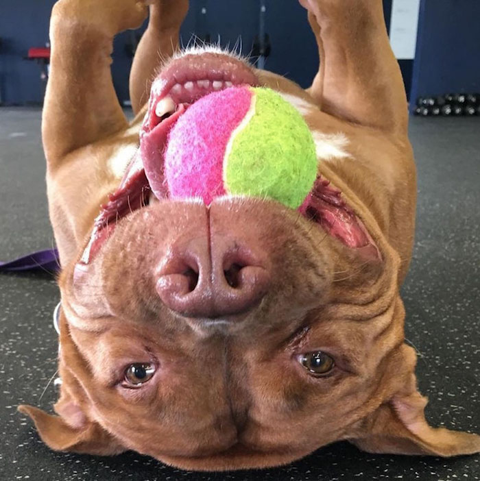rescued-smiling-pitbull-meaty-2
