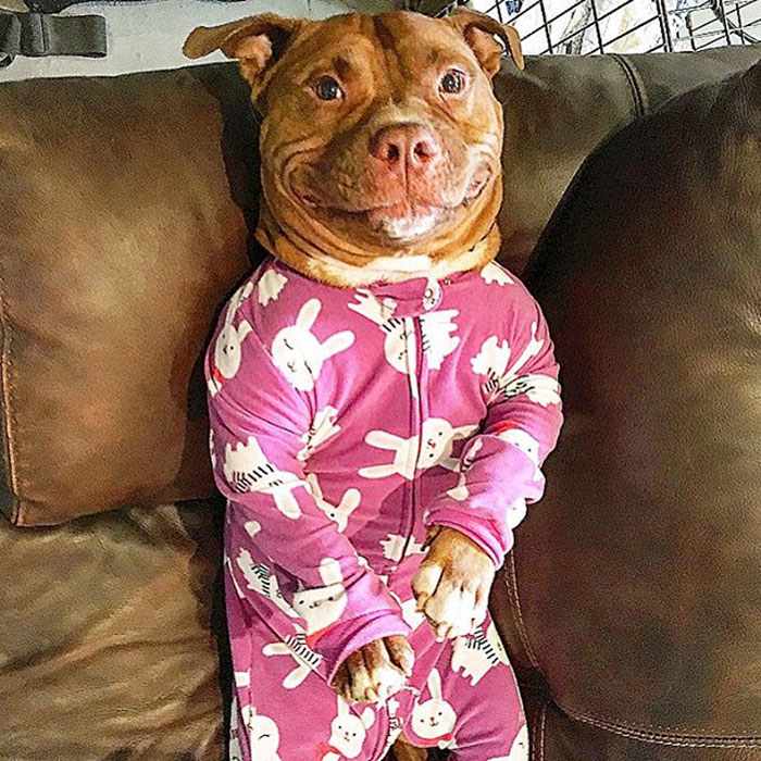 rescued-smiling-pitbull-meaty-28