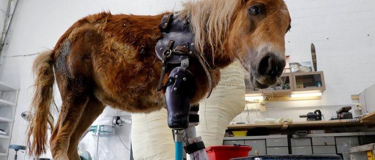 Трехногий пони впервые встал на четыре ноги благодаря протезу