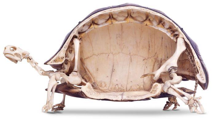 №4 Скелет черепахи.