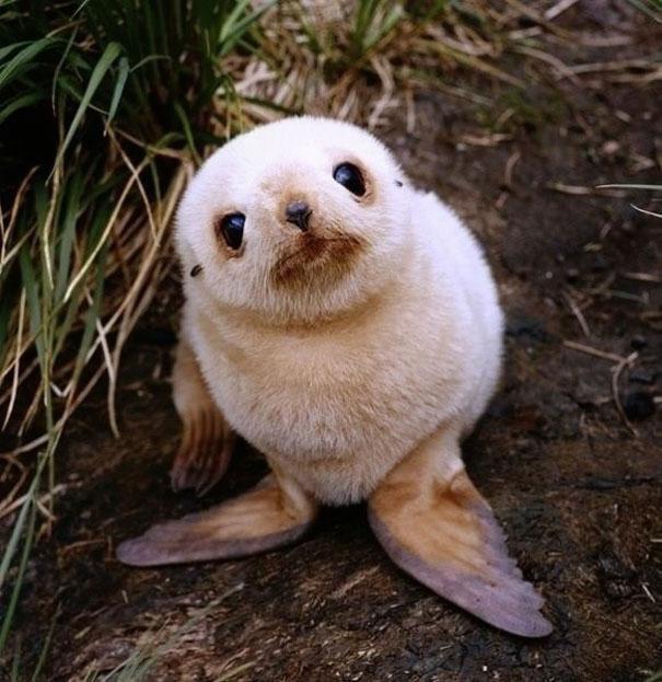 Детеныш морского котика