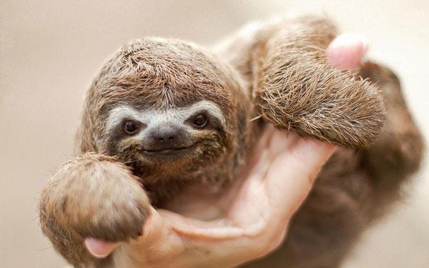 Детеныш ленивца
