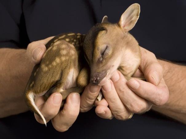Детеныш оленя