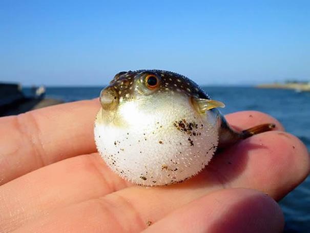 Детеныш рыбы фугу